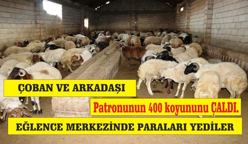 Çoban 400 baş koyununu çaldı